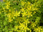 Sedum uniflorum senanense (3)