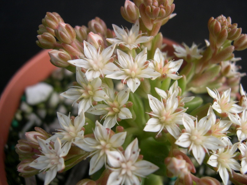 Sedum 'China Doll' (3)