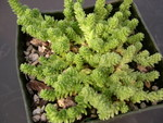 Sedum acre (diploid)