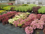 Sedum spurium varieties at the nursery 1