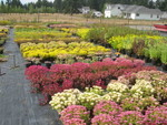 Sedum spurium varieties at the nursery 2