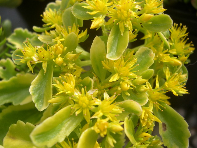 Sedum kamtschaticum 'The Edge' [Phedimus kamtschaticus 'The Edge'] (1)
