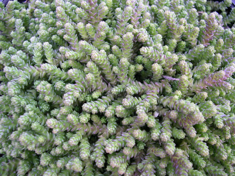 Sedum acre tetraploid 2-03
