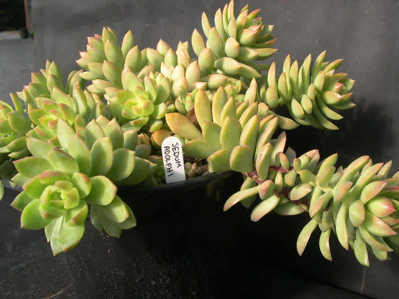 Sedum 'Golden Glow'  (1)