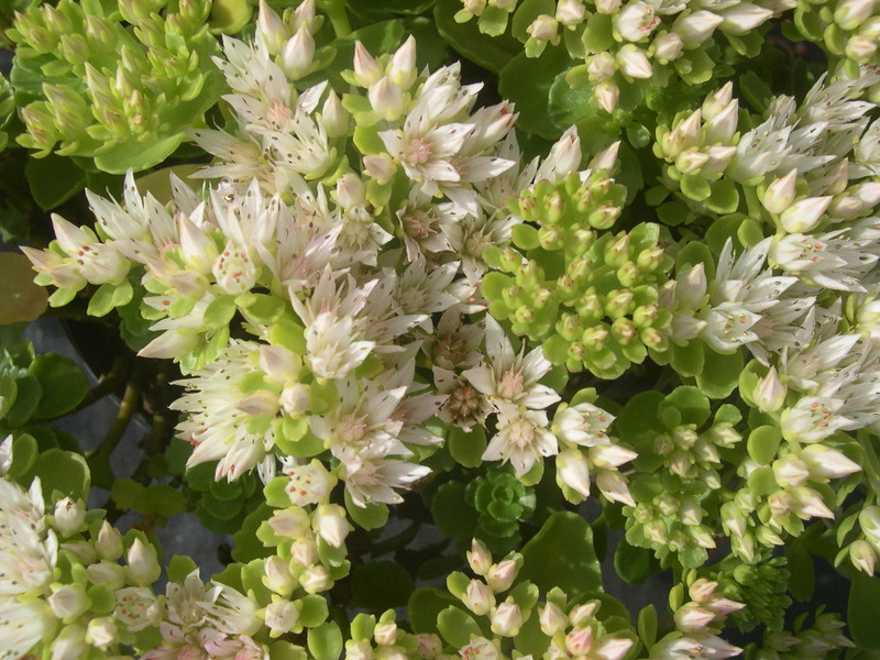 Sedum spurium 'White Carpet' [Phedimus spurius 'White Carpet'] (2)