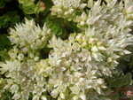 Sedum spurium from Turkey [Phedimus spurius from Turkey] (2)