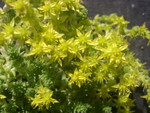 Sedum acre (diploid) (2)