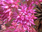 Sedum spurium 'Dragon's Blood' [Phedimus spurius 'Dragon's Blood'] (2)