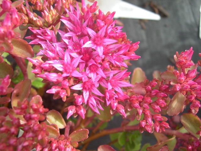 Sedum spurium 'Dragon's Blood' [Phedimus spurius 'Dragon's Blood'] 4)