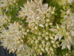 Sedum spurium 'Green Mantle' [Phedimus spurius 'Green Mantle'] (3)