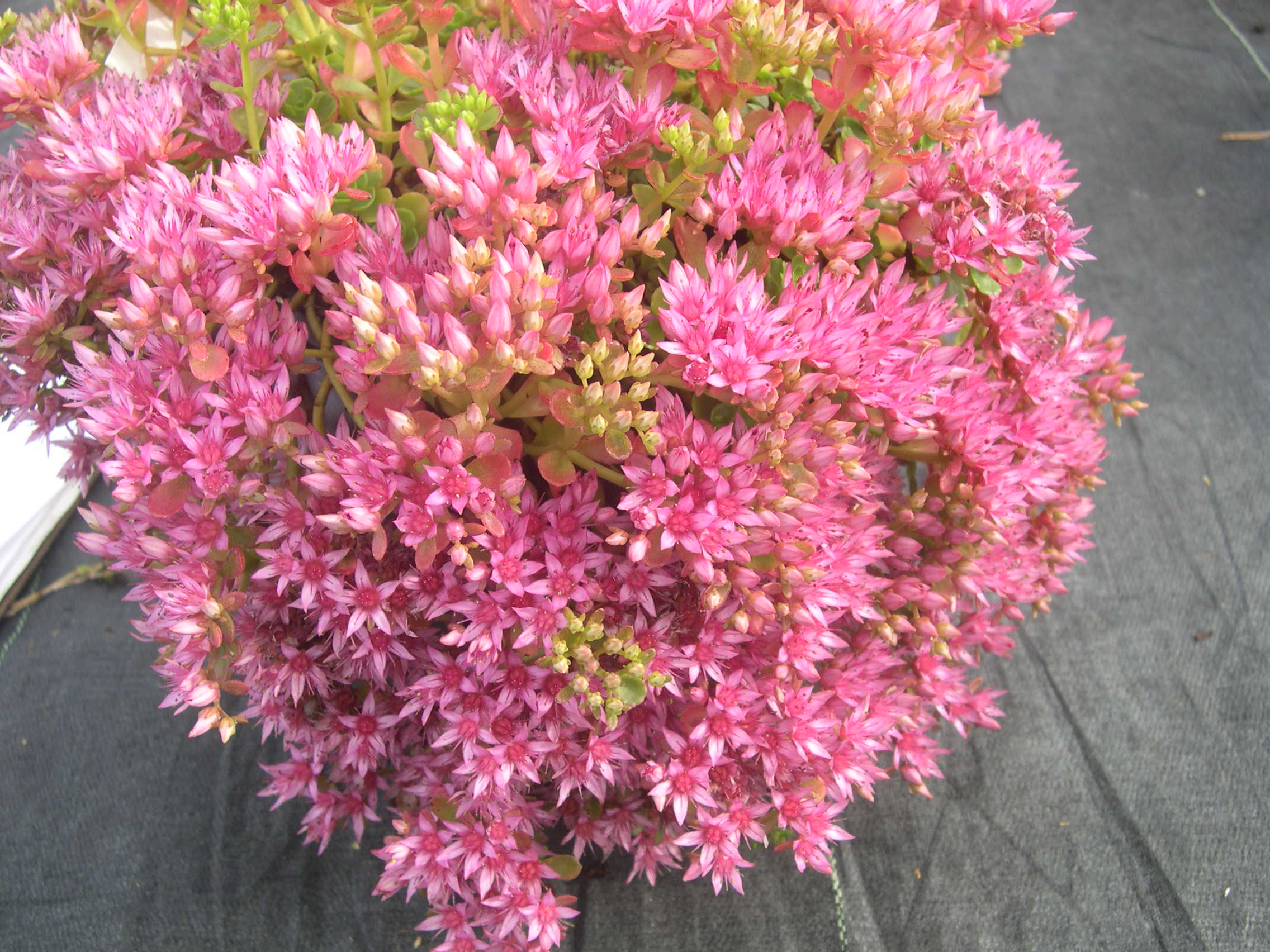 Sedum spurium 'Dr. John Creech' [Phedimus spurius 'Dr. John Creech'] (2)