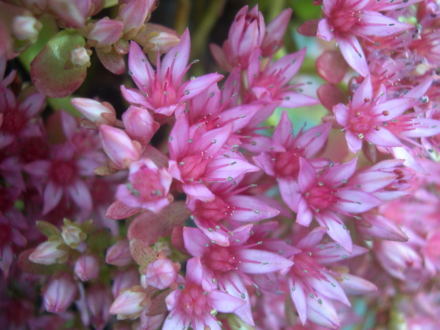 Sedum spurium 'Dr. John Creech' [Phedimus spurius 'Dr. John Creech'] (3)