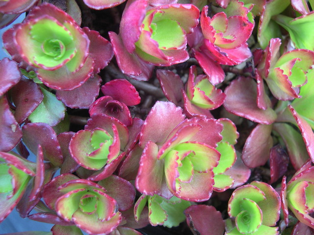 Sedum spurium 'Ruby Mantle' [Phedimus spurius 'Ruby Mantle'] (3)