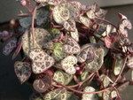 Ceropegia woodii 2.jpg