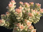 Crassula Tom Thumb Variegata 1.jpg