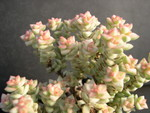 Crassula Tom Thumb Variegata 3.jpg