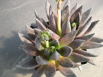 Echeveria Black Knight 1.jpg