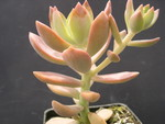 x Graptosedum 'California Sunset' (2)