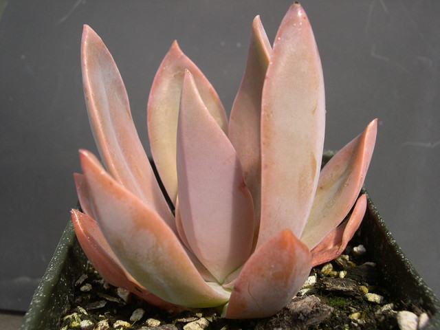 x Graptoveria 'Fred Yves' (1)
