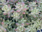Sedum album from France (2)