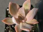 x Graptoveria 'Fred Yves' (2)