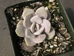 x Graptoveria 'Margaret Rose' (1)