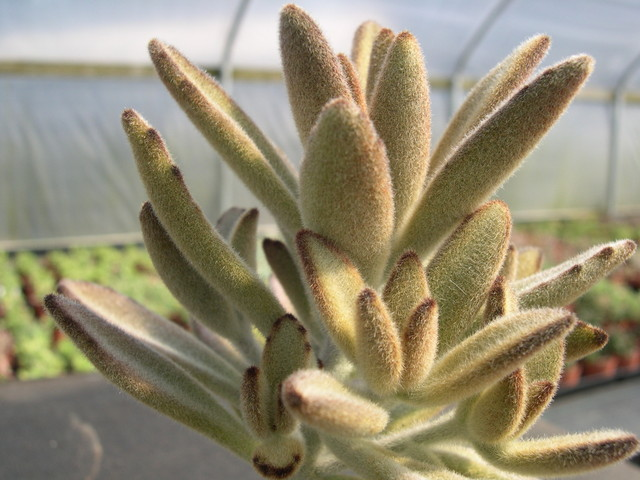 Kalanchoe tomentosa Chocolate Soldier 2.jpg