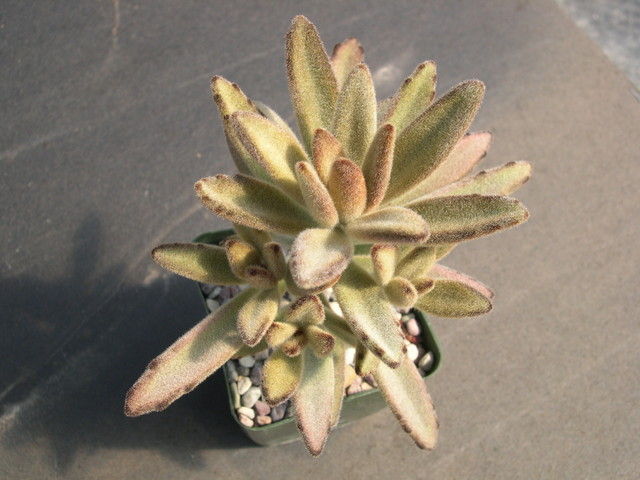 Kalanchoe tomentosa Chocolate Soldier 3.jpg
