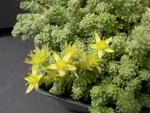 Sedum acre (diploid) (3)