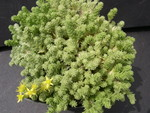 Sedum acre (diploid) (4)