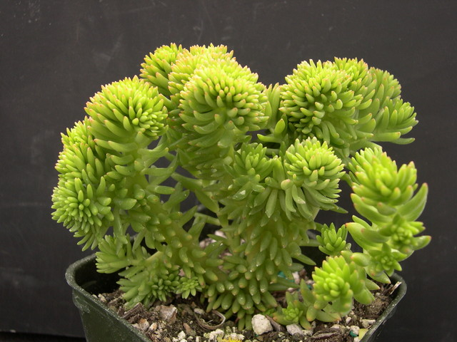 Sedum 'Spiral Staircase' crested (1)