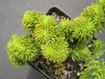 Sedum 'Spiral Staircase' crested (2)