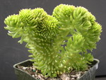 Sedum 'Spiral Staircase' crested (3)