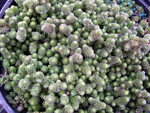 Sedum gracile (from the Caucasus) (1)