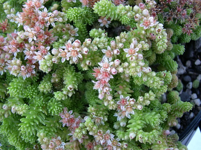 Sedum gracile (from the Caucasus) (2)