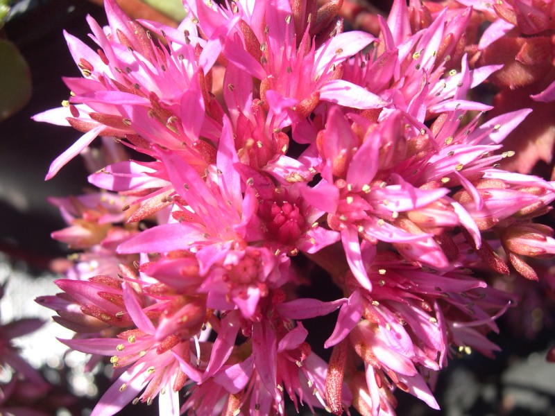 Sedum Spurium Voodoo Sedum Spurium 39 Elizabeth 39