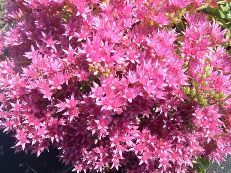 Sedum Spurium Voodoo Sedum Spurium 39 Pink Jewel 39