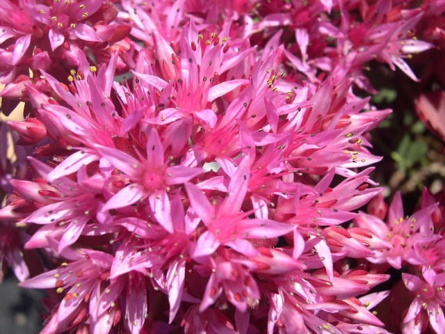 Sedum Spurium Voodoo Sedum Spurium 39 Purpurkissen 39