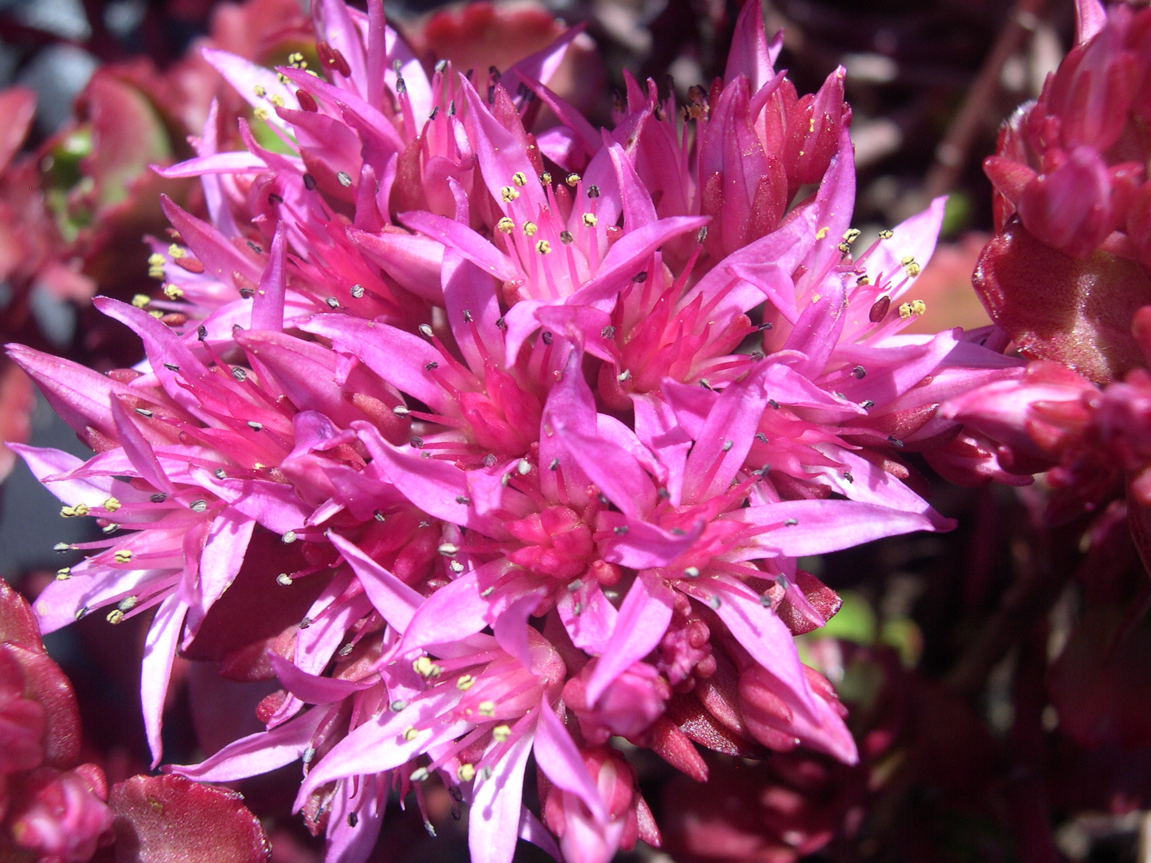 Sedum spurium 'Ruby Mantle' 7-20-08 (1)