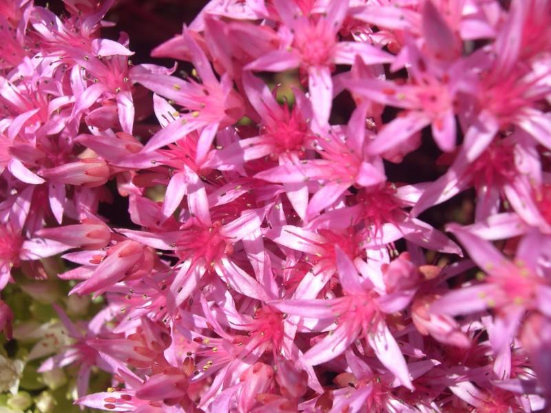 Sedum Spurium Voodoo Sedum Spurium 39 Schorbuser