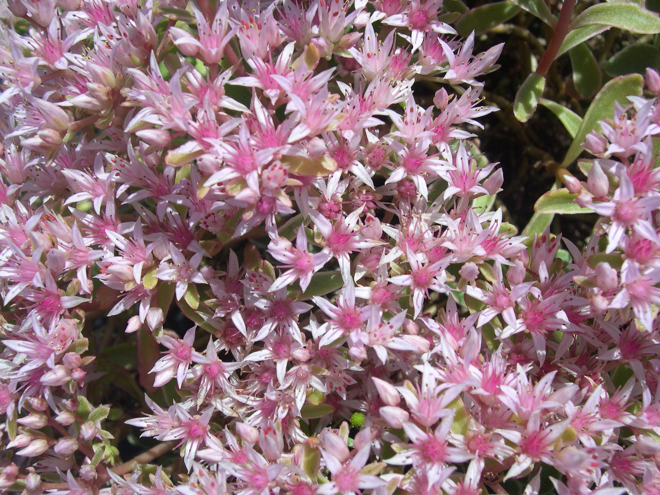 Sedum Spurium Tricolor 7 20 08 1