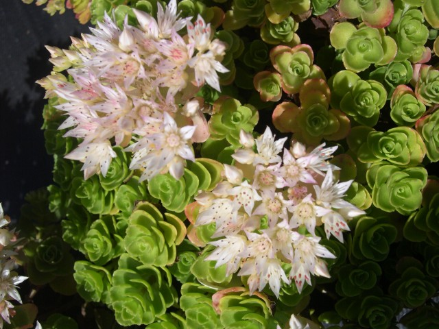 Sedum spurium from Turkey 7-20-08 (4)