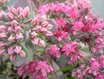 Sedum cauticola 'Bertram Anderson' (4) (Hylotelephium cauticola 'Bertram Anderson')