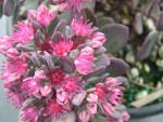 Sedum cauticola 'Bertram Anderson' (5) (Hylotelephium cauticola 'Bertram Anderson')