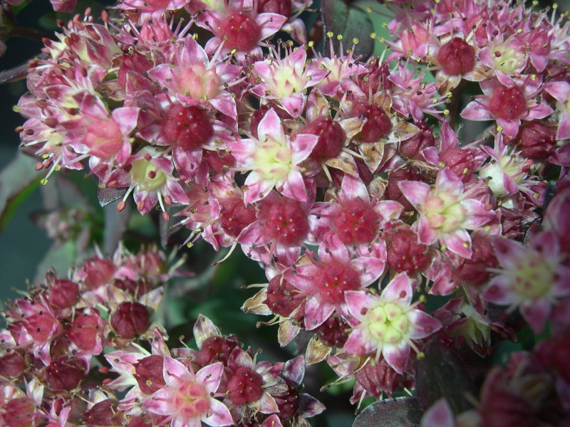 Sedum telephium Strawberries & Cream (2) (Hylotelephium telephium 'Strawberries & Cream')