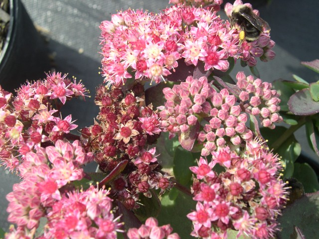 Sedum telephium Strawberries & Cream (3) (Hylotelephium telephium 'Strawberries & Cream')