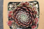 Sempervivum 'Butterfly'