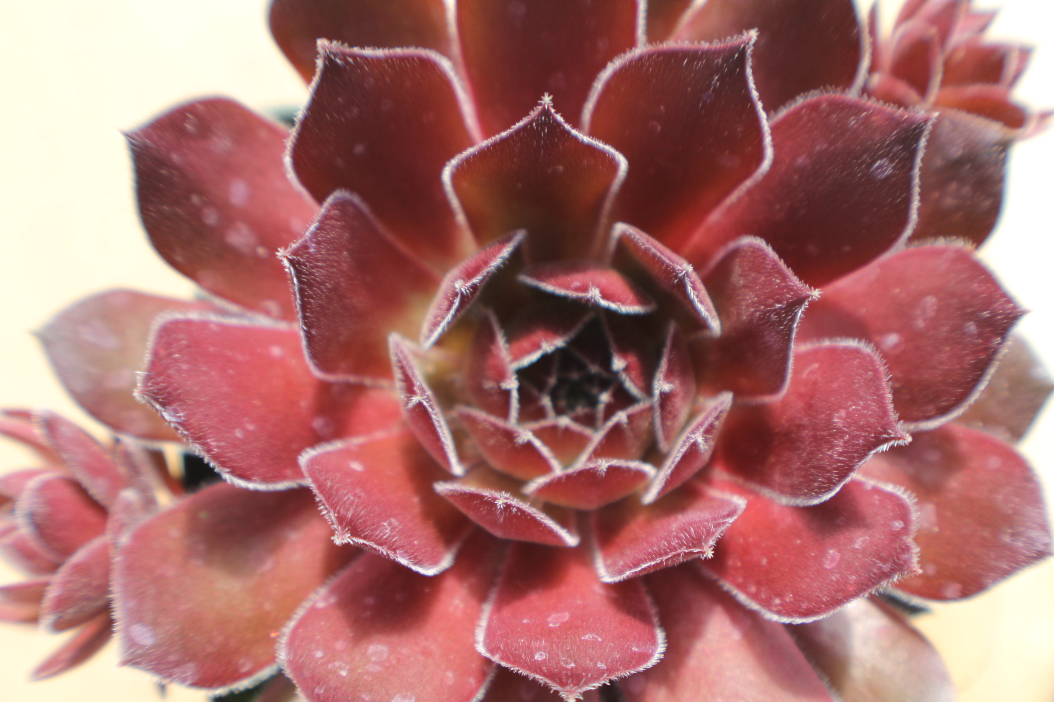 Sempervivum 'Ohio Burgundy'