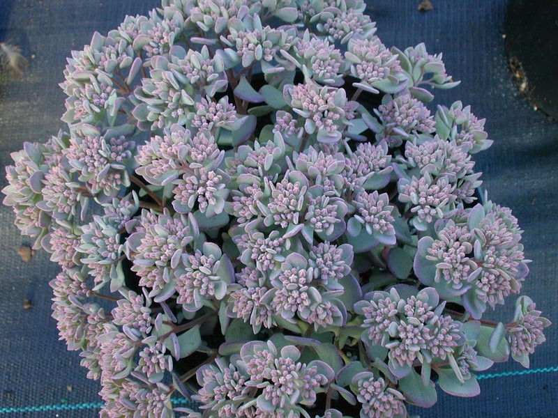 Sedum cauticola 'Lidakense' (1) [Hylotelephium cauticola 'Lidakense']