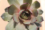 Watermelon Rind 1